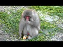 Обезьяна и мандарин / Japanese monkey eating a tangerine