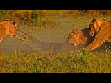 Львы убивают и съедают крокодила слайд шоу