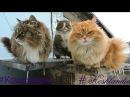 Koshlandia, Siberian Farm cats, snowstorm, Кошляндия, Метель, Сороки April