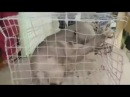 В Китае поймали Чупакабру! Монстр с огромными когтями и клыками.