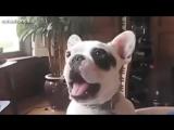 Видео Подборка|Самый смешной лай собаки| Домашние животные
