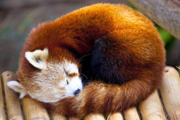 красная панда фото википедия