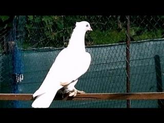 АНДИЖАНСКИЕ БОЙНЫЕ! Любите голубей и будьте любимы,птица счастья и добра!!!