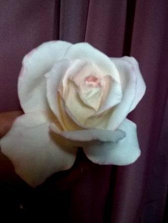 На улице идет снег а у меня родилась  Роза.