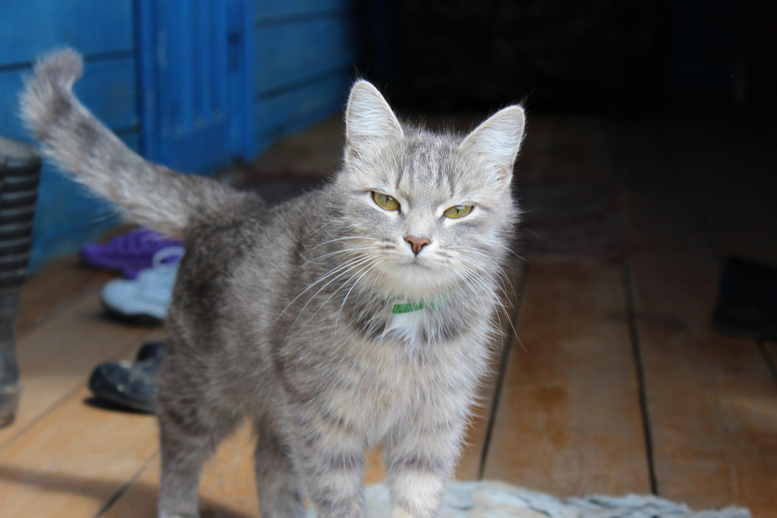 Кошка, которой помог Фелиферон