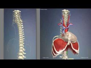Диафрагма мышца человека | 3D Анатомия человека | Внутренние органы