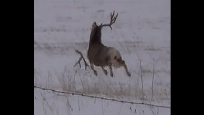 Mule deer buck with droptine shedding antlers on film! a must see!