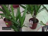 Как правильно поливать юкку? / How to water the yucca?