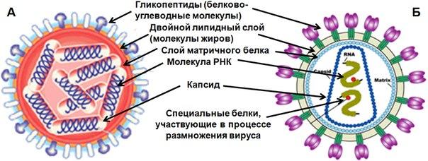 двумя молекулами РНК.
