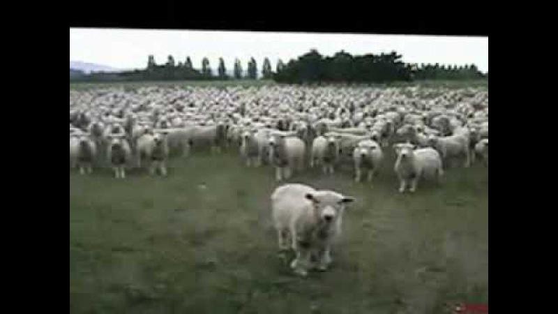 Овцы на митинге очень напоминают стадо людей