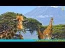 Зачем тигру полоски, а жирафу пятна что такое мимикрия развивающие мультфильмы