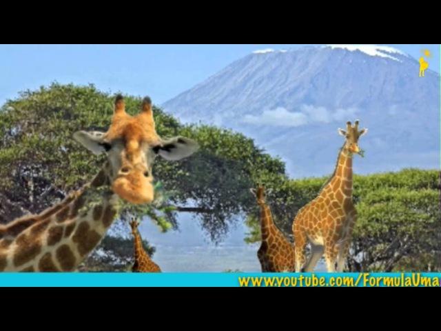 Зачем тигру полоски а жирафу пятна что такое мимикрия развивающие мультфильмы