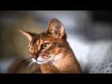 Абиссинская кошка (Abyssinian cat)