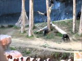 Crazy Chimps Fighting at the LA Zoo (with a big stick)!