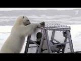 Очень близкое знакомство с полярным медведем смог пережить британский кинооператор - Первый канал