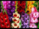 Как выбрать луковицу гладиолуса, георгина, лилии