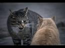 Жесткие драки котов Cats Fight