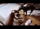 Щенки Американского Стаффордширского Терьера. помет З. 6 из 13 щенков, 2 месяца и неделя