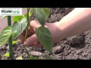 Как формировать перец Прищипываем первый цветок удаляем боковые побеги