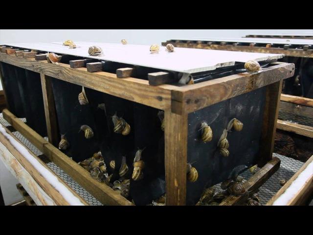 Hodowla Ślimaków SlowFarm - Wybudzanie Reproduktorów