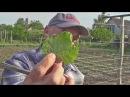 Защита винограда от болезней перед цветением