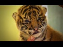 Handraising Twin Tiger Cubs Tigers About The House BBC