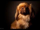 Пекинес, все породы собак, 101 dogs. Введение в собаковедение.