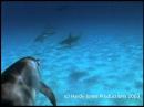 Дельфины защищают дайвера от акулы
