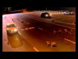 Нападение стаи волков на пост ДПС (трасса М23)