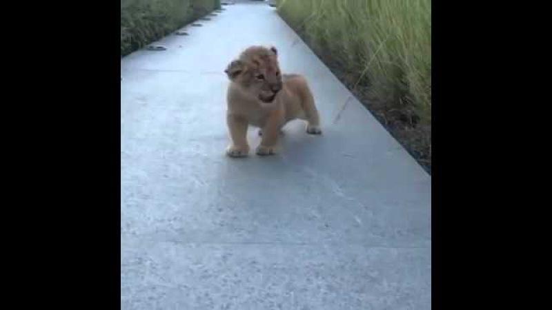 Львенок учится рычать