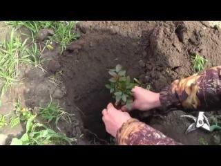 Посадка розы - выращивание всех сортов черенками