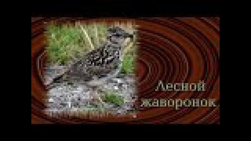 Пение птиц. Жаворонок лесной ( Lullula arborea )