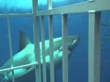 GoPro Universe | Большая белая акула крупным планом.