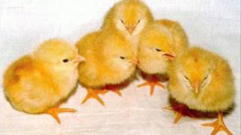 Вокальный квартет Аккорд Мои цыплята