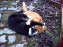 Коты дерутся Редкие динамичные кадры. Лучшие бои животных