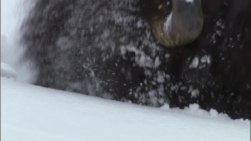 BBC Йеллоустоун Борьба за жизнь Зима