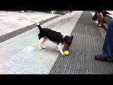 Умная собака играет в мяч