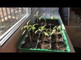 Как правильно поливать рассаду томатов (помидор). 2 Марта 2015 г. Что нужно знать.