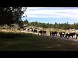 Горные козы на ликийской тропе. Тахталы. Турция, май 2015