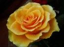 Вдыхая розы аромат
