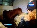 Элитных скакунов вынуждены продавать в Китай и Монголию коневоды Иркутской области, Вести-Иркутск