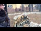 Тигрица охотник и просто красавица!