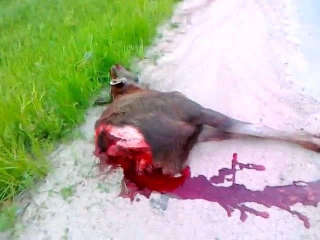 Быка за рога [Аварии с животными]