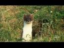 Горностай охотится на кролика
