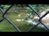 Кормление крокодилов в зоопарке Рио-де-Жанейро