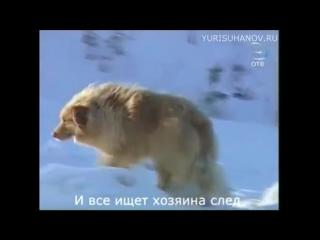 Верные собаки как Хатико! ОЧЕНЬ ГРУСТНАЯ РЕАЛЬНАЯ ИСТОРИЯ!