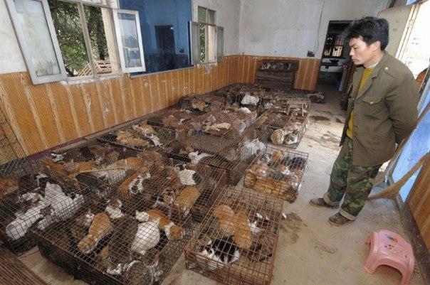 Каждый год в Китае съедают почти четыре миллиона кошек. Мясо кошки в Китае счита...