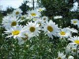 Дарите женщинам цветы _ Ян Райбург