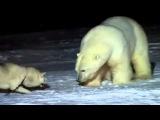 Белый медведь против собаки