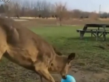 Оленёнок играет с мячом